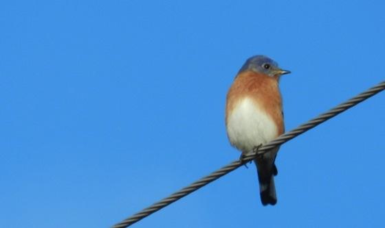 Blue_Bird_of_happiness